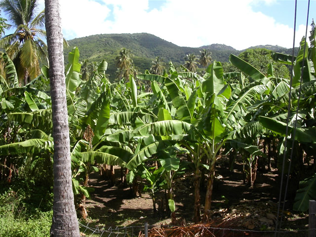 Bananenplantage - Banana Plantation, Antigua & Barbuda
