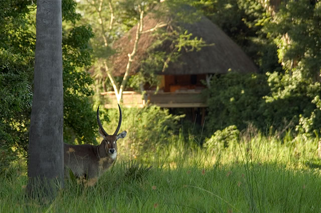 Antilope vor der Mvuu Wilderness Lodge